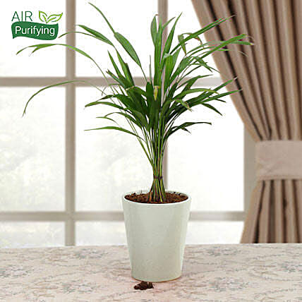 Areca palm plant in a conical vase