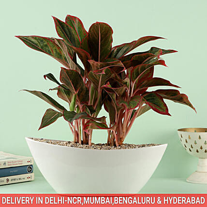 Online Plant in Dish Pot