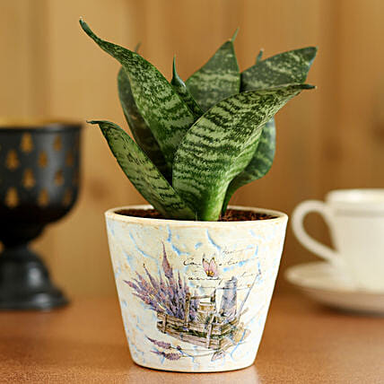 Sansevieria Hahnii In Blue Ceramic Pot