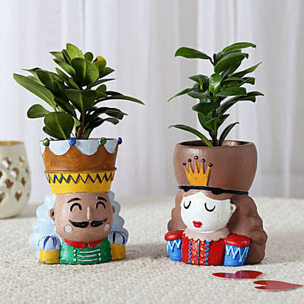 combo of ficus plant in attractive pot