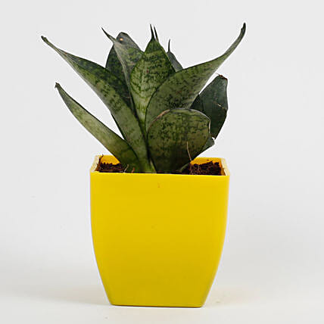 snakeskin sansevieria plant in yellow pot