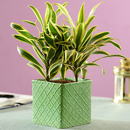 leafy plant in ceramic pot online