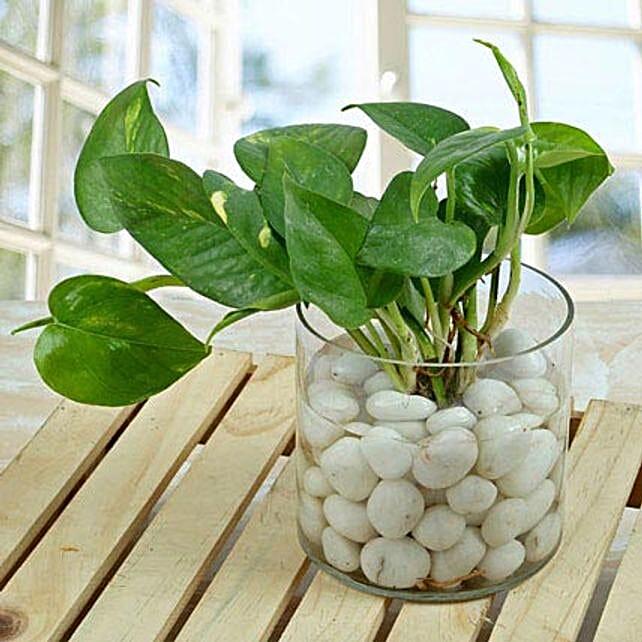 Money plant in a round glass vase