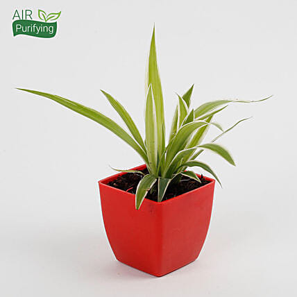 spider plant in red blossom pot