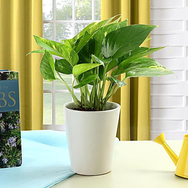 Money plant in a white vase