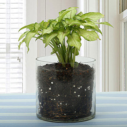 Syngonium golden plant in a round glass vase