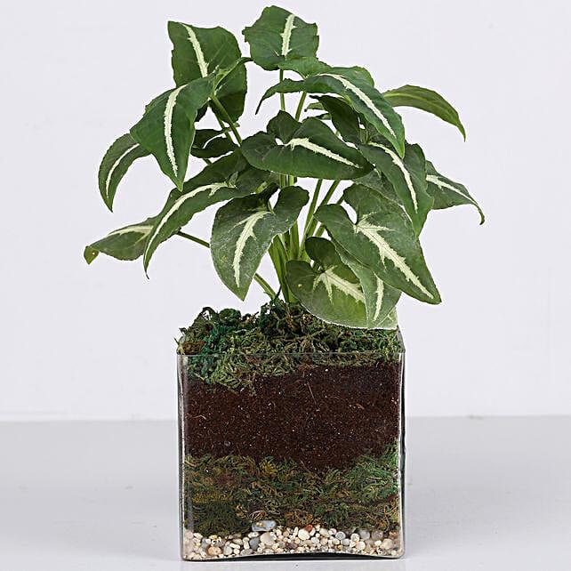 attracitve syngonium plant in terrarium vase