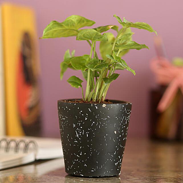 Syngonium Plant In Black Ceramic Pot