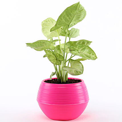 Online Syngonium Plant In Pink Pot