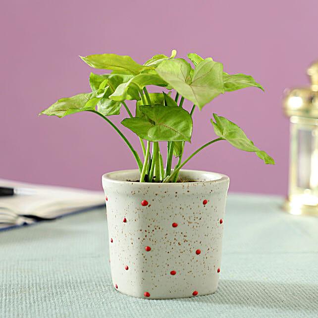 lucky plant in ceramic pot online