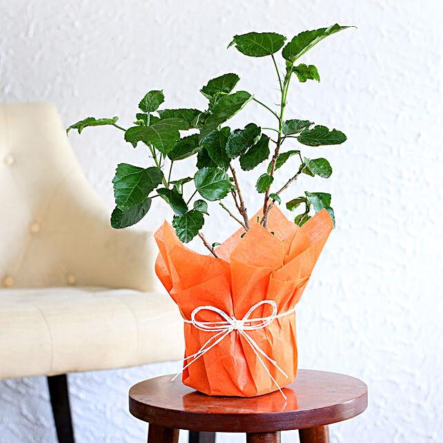 Hibiscus plant in a vase