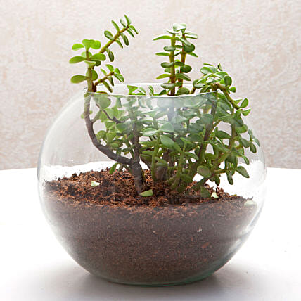 Jade plant in a round glass vase plants gifts