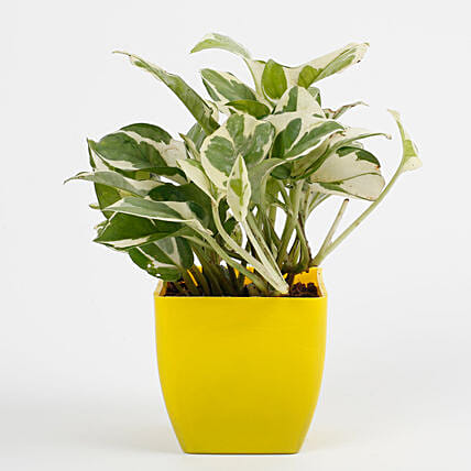 pothos plant in yellow vase